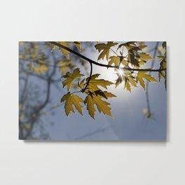 backlit young foliage Metal Print