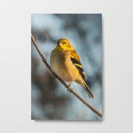 Goldfinch in Winter Metal Print