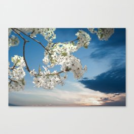 Pear Blooms at Sunset Canvas Print