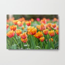 Close up of peach tulips lit by the setting sun Metal Print