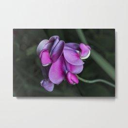 Sweet pea flowers Metal Print