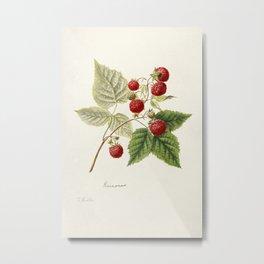 Red Raspberries (Rubus Idaeus) (1891) by Frank Muller Metal Print
