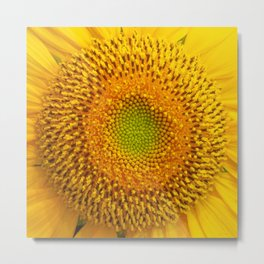 Bright yellow sunflower - close up Metal Print