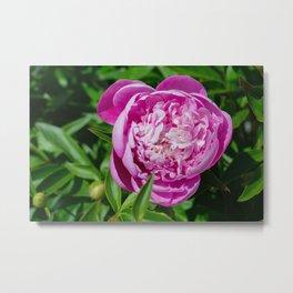 popping in pink Metal Print