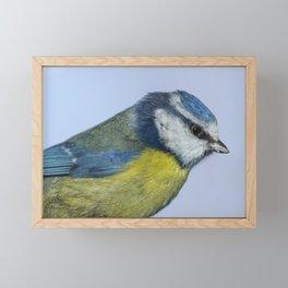Adult Blue tit Framed Mini Art Print