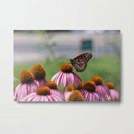 Monarch Butterfly on Coneflower. Russellville Arkansas. Metal Print