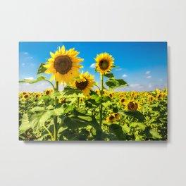 Three's Company - Trio of Sunflowers in Kansas Metal Print