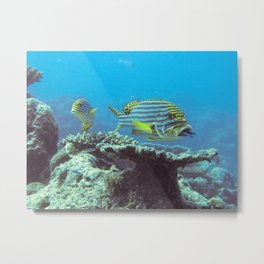 Sweetlips at the cleaning station Metal Print