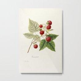 Red Raspberries (Rubus Idaeus) (1891) by Frank Muller. Metal Print