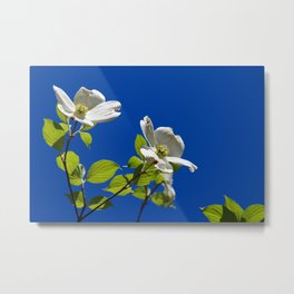 Blue Skies and Dogwood Trees in Bloom!  Metal Print