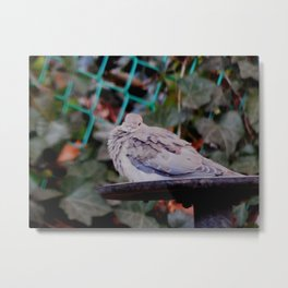 Sweet mourning dove Metal Print