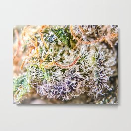 Diamond OG Indoor Hydroponic Close Up View Buds Trichomes Metal Print