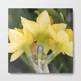Tête-à-Tête Daffodils from the Back Metal Print