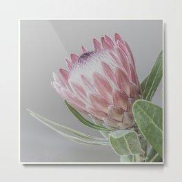 Protea In Isolation Metal Print