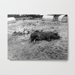 Black & White Pigs on the Farm Metal Print