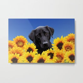Labrador retriever in Sunflower Field Metal Print