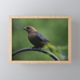 Brown-headed Cowbird Framed Mini Art Print