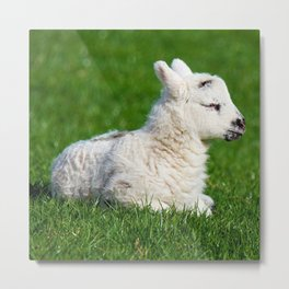 A Sleepy Newborn Lamb In A Field Metal Print