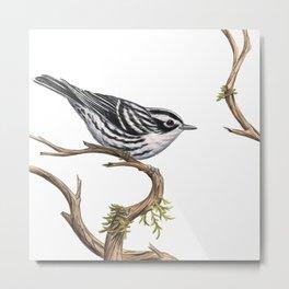 Black-and-White Warbler (Mniotilta varia) Metal Print
