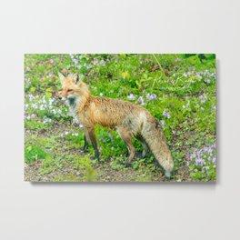 Red Fox spring visit Metal Print