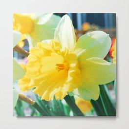 Closeup Narcissus 3 Metal Print