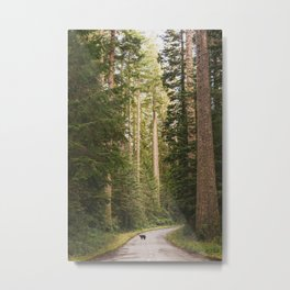 Redwood Forest Black Bear Adventure - National Parks Nature Photography Metal Print