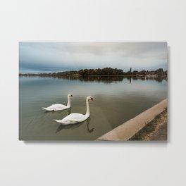 White swans swimming at Lake Palic, Serbia / Silhouette / Blue Metal Print