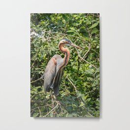 Purple heron resting on a branch in the green foliage of a tree Metal Print