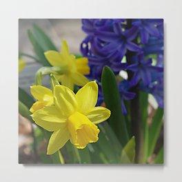 Spring daffodils and hyacinth Metal Print