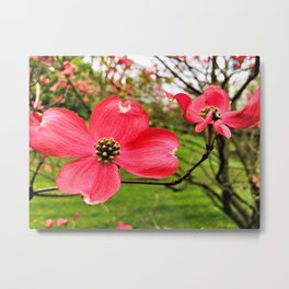Red Dogwood In The Springtime Metal Print