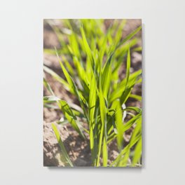 rye sprouts Metal Print