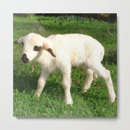 A Newborn Lamb Finding Its Feet Metal Print
