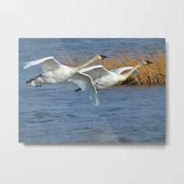 Swan Pair In Flight Metal Print