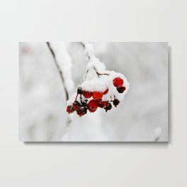 Bunch of red berries in winter Metal Print