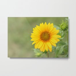 Sunflower, nature photography, single flower with no fitler Metal Print