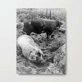 A Couple of Big Pigs Black & White Metal Print