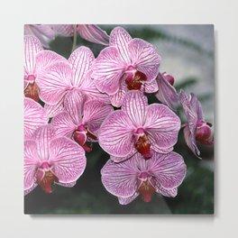 Pink Butterfly Phalaenopsis Orchid Metal Print