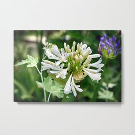 White Lily of the Nile - Colorful Metal Print