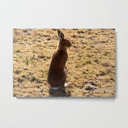 Irish Mountain Hare Metal Print