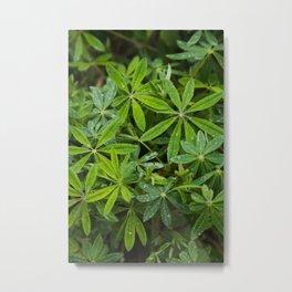 Dewey Wild Lupine Leaves in Oregon Forest Metal Print