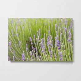 Lovely Lavender Field Metal Print