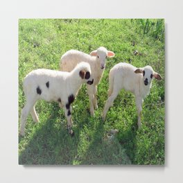 Three Cute Spring Lambs Metal Print