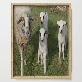 Ewe and Three Lambs Making Eye Contact Serving Tray