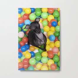 A brown Italian greyhound dog sitting in a colorful ball pit looking up top view Metal Print