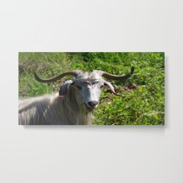 Portrait of A Horned Goat Grazing Metal Print