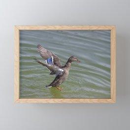 Mallard Dance Framed Mini Art Print