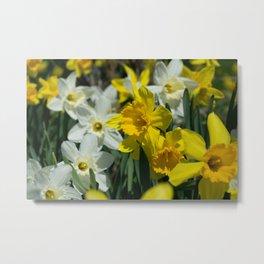 backyard daffodils Metal Print