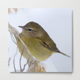 Watercolor Bird, Orange Crowned Warbler 02, Estes Park, Colorado, Winter Forager Metal Print