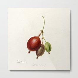 Gooseberries (Ribes) (1891) by Frank Muller. Metal Print