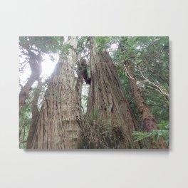 Coastal Redwoods Metal Print
